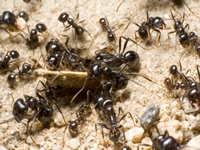 north Brisbane Pest Control ants