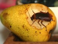 Caboolture pest control cockroach